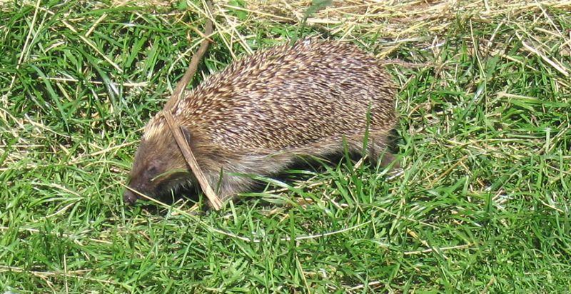 Tiggyhedgehog