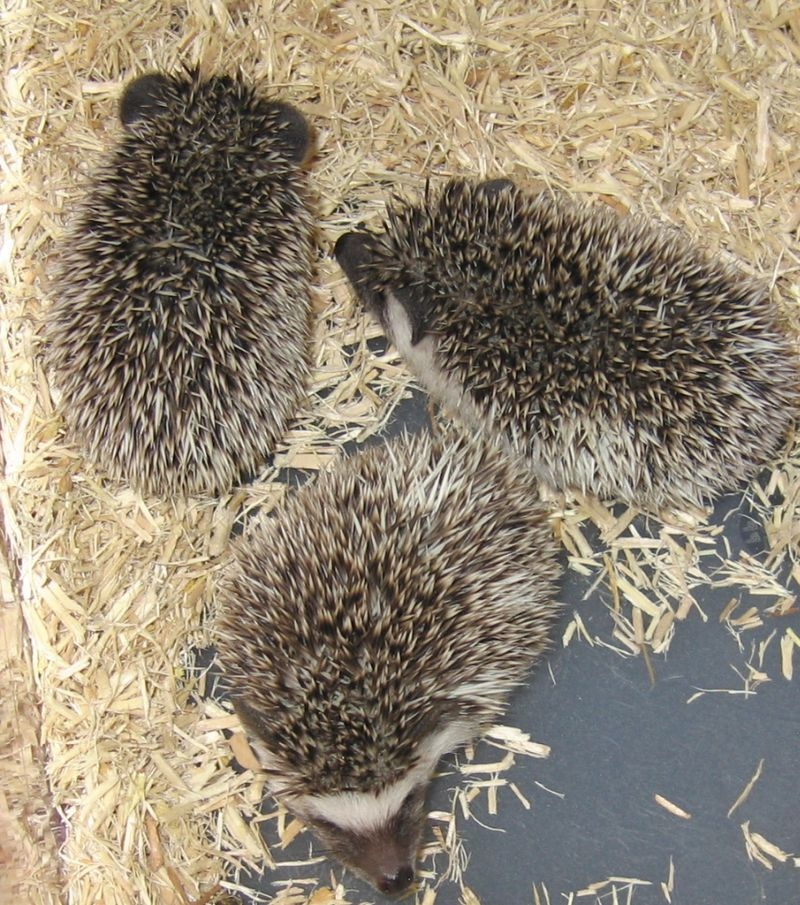 Hedgehogshowbabies
