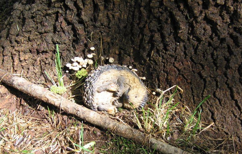 Curledhedgehog